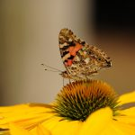 painted-lady-butterfly-insect-walking-butterfly-158253